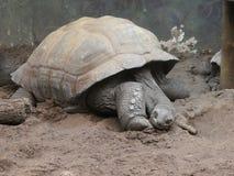 Aldabra giant tortoise having a sleep royalty free stock image