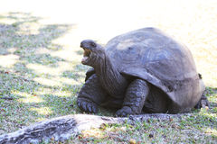 Aldabra giant tortoise yawns Royalty Free Stock Photo