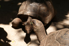 Aldabra Giant Tortoises Royalty Free Stock Images