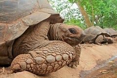 Aldabra giant tortoises Royalty Free Stock Photography