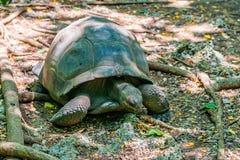 Aldabra gigantyczny tortoise Zdjęcia Royalty Free