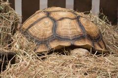 Aldabra gigantyczny tortoise Obrazy Royalty Free