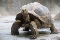 Aldabra gigantyczny tortoise Obraz Stock