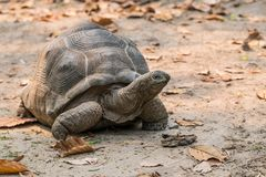 Aldabra Gigantyczny Tortoise jest gigantyczni gatunki Tortoise Zdjęcia Royalty Free
