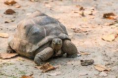 Aldabra Gigantyczny Tortoise jest gigantyczni gatunki Tortoise Obraz Royalty Free