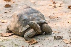 Aldabra Gigantyczny Tortoise jest gigantyczni gatunki Tortoise Fotografia Royalty Free