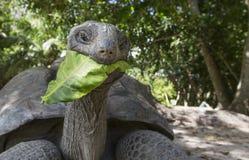 Aldabra gigantyczny tortoise w Seychelles Obrazy Stock