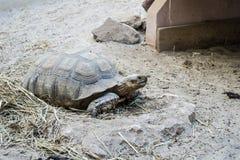 Aldabra jätte- sköldpadda Arkivfoton