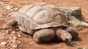 Aldabra jätte- sköldpadda Arkivfoto