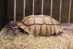 Aldabra jätte- sköldpadda Royaltyfri Fotografi