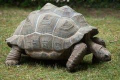 Aldabra reuzeschildpad & x28; Aldabrachelys gigantea& x29; royalty-vrije stock afbeeldingen