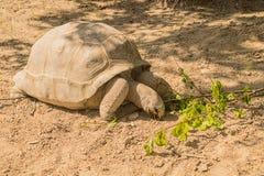 Aldabra reuzeschildpad die rond kruipen Royalty-vrije Stock Afbeelding