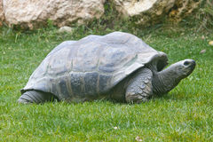 Aldabra riesige Schildkröten stockbilder