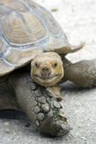 Aldabra Schildkröte, die Sie betrachtet Lizenzfreie Stockbilder
