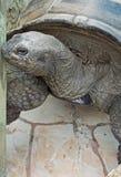 Aldabra Schildkröten-Seitenportrait Stockfotos