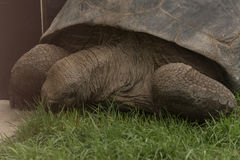 Aldabra Seychelles giant tortoise. Giant turtle on the Seychelles in the Indian Ocean Royalty Free Stock Photo