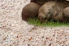 Aldabra Seychelles giant tortoise. Giant turtle on the Seychelles in the Indian Ocean Royalty Free Stock Photography