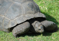 Aldabra Tortoise. A aldabra tortoise munches away on grass. Scientific name is geochelone gigantia. Originally from the islands of the Aldabra Atoll in the royalty free stock photos