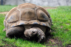 Aldabra Tortoise Royalty Free Stock Images
