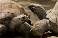 Aldabra Tortoise. The  Aldabra Tortoise is one of the largest tortoises in the world Royalty Free Stock Images