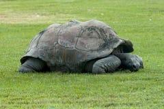 Aldabra tortoise Aldabrachelys gigantea Royalty Free Stock Images