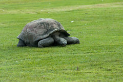 Aldabra tortoise Aldabrachelys gigantea Royalty Free Stock Image