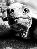 Aldabra tortoise in black and white - close up. Aldabra giant tortoise can live up to 190 years. Here the pictures are in black and white to enhance the textures stock photos