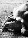 Aldabra tortoise in black and white - close up. Aldabra giant tortoise can live up to 190 years. Here the pictures are in black and white to enhance the textures royalty free stock photos