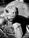 Aldabra tortoise in black and white - close up. Aldabra giant tortoise can live up to 190 years. Here the pictures are in black and white to enhance the textures royalty free stock image