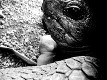 Aldabra tortoise in black and white - close up. Aldabra giant tortoise can live up to 190 years. Here the pictures are in black and white to enhance the textures stock image