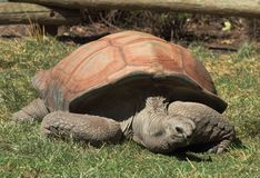 Aldabra Tortoise Geochelone Gigantea. The aldabra tortoise measures up to 5 feet in length and weighs as much as 1/4 ton. Their average life span is over 50 stock photography