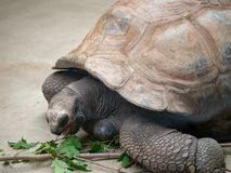 Aldabra tortoise geochelone gigantea takes a bite out of the leaves of a branch royalty free stock image