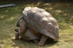 Aldabra tortoise mating Stock Images