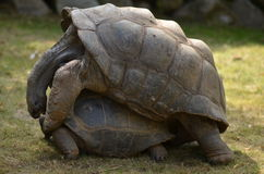 Aldabra tortoise mating Royalty Free Stock Images