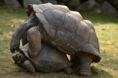 Aldabra tortoise mating Stock Images