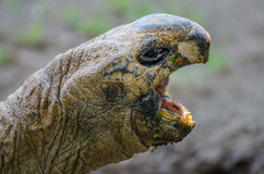 Aldabra Tortoise with Open Mouth Royalty Free Stock Image