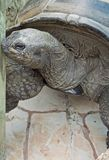 Aldabra Tortoise side portrait Stock Photos