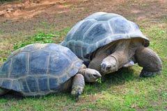 Aldabra Tortoises. Two large aldabra tortoises grazing for food Stock Photos