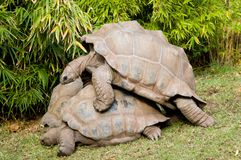 Aldabra Tortoises. A pair of Aldabra Tortoises doing what come naturally Royalty Free Stock Photo