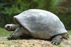 Aldabrahschildpad, 2de grootst in de wereld Royalty-vrije Stock Afbeelding