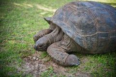Aldabran seychelles giant tortoise Royalty Free Stock Photos