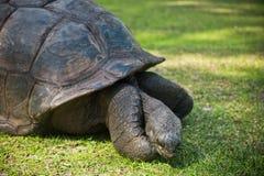 Aldabran seychelles giant tortoise Royalty Free Stock Photography