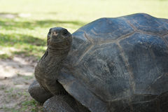 Aldabran seychelles giant tortoise Stock Images