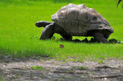 Aldabran Tortoise Stock Photo