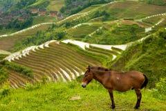 Aldea tradicional Longji de la terraza del arroz del burro Foto de archivo