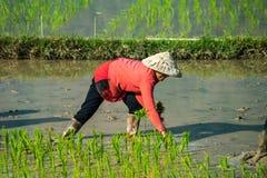 Aldeanos locales que trabajan en un campo del arroz en el valle de Champasak, Laos foto de archivo libre de regalías