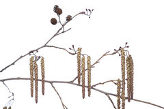 Alder. Branch alder with catkin and cone on white background royalty free stock photo
