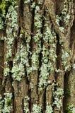 Alder bark witn a lichen Royalty Free Stock Photography