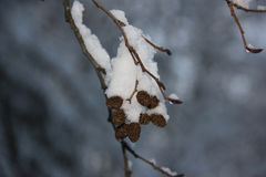 Alder. The alder below the snow in winter Royalty Free Stock Image