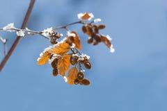 Alder branch autumn Stock Photo